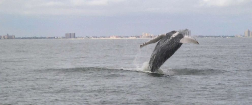 PHOTO: Whales have been returning to the New York Bight for the past several years thanks in part to cleaner waters and an abundance of prey species.