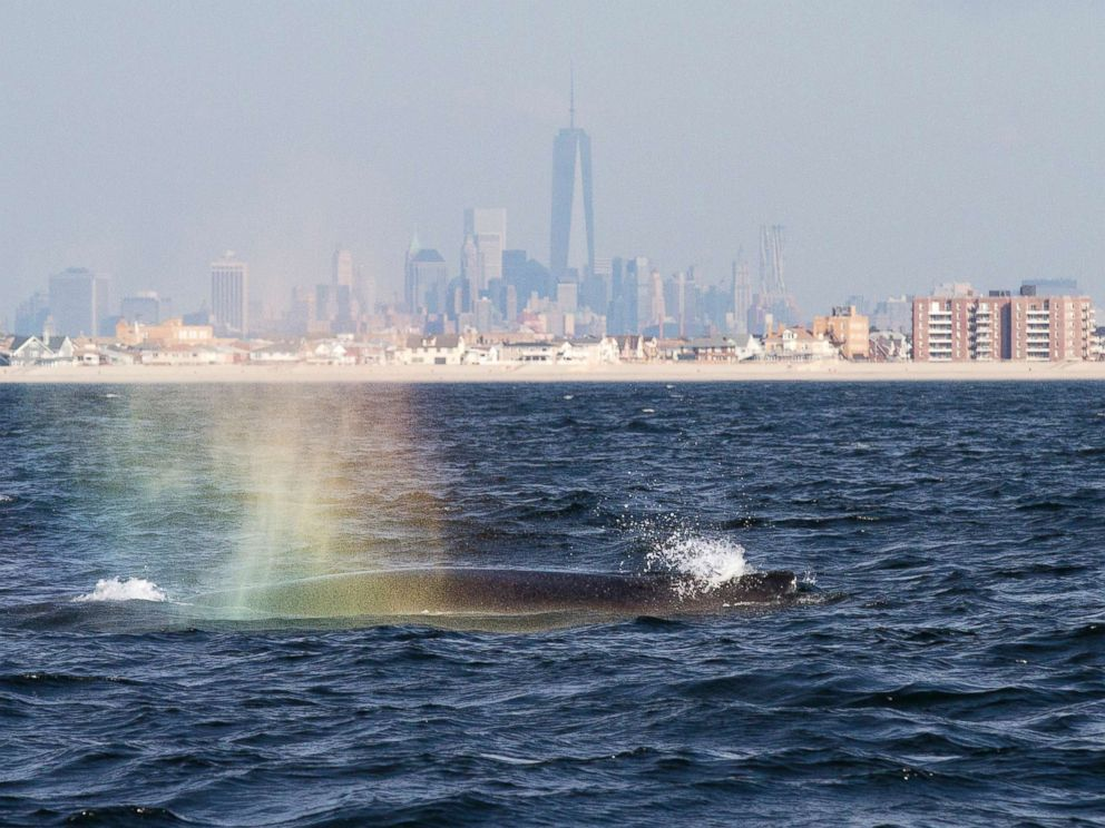 PHOTO: Humpback whale blows into the morning sunlight creating a rainbow of colors off Rockaway Beach on Sept. 3, 2014, in New York City.