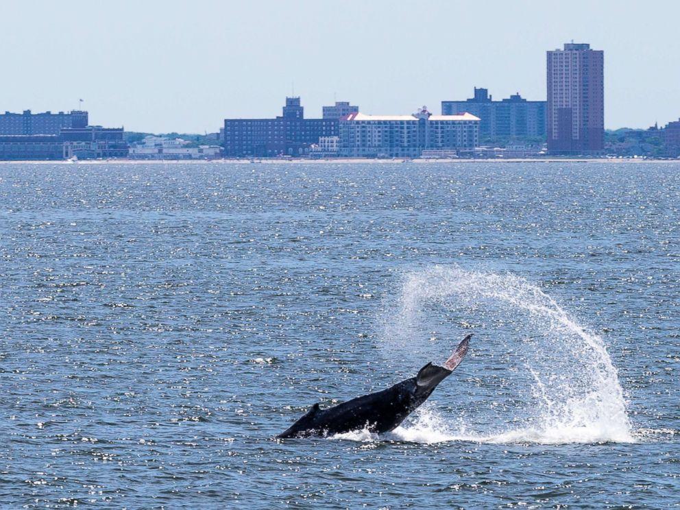 PHOTO: A humpback whale tail slaps off Navasink Beach, June 20, 2014, in Asbury Park, N.J.
