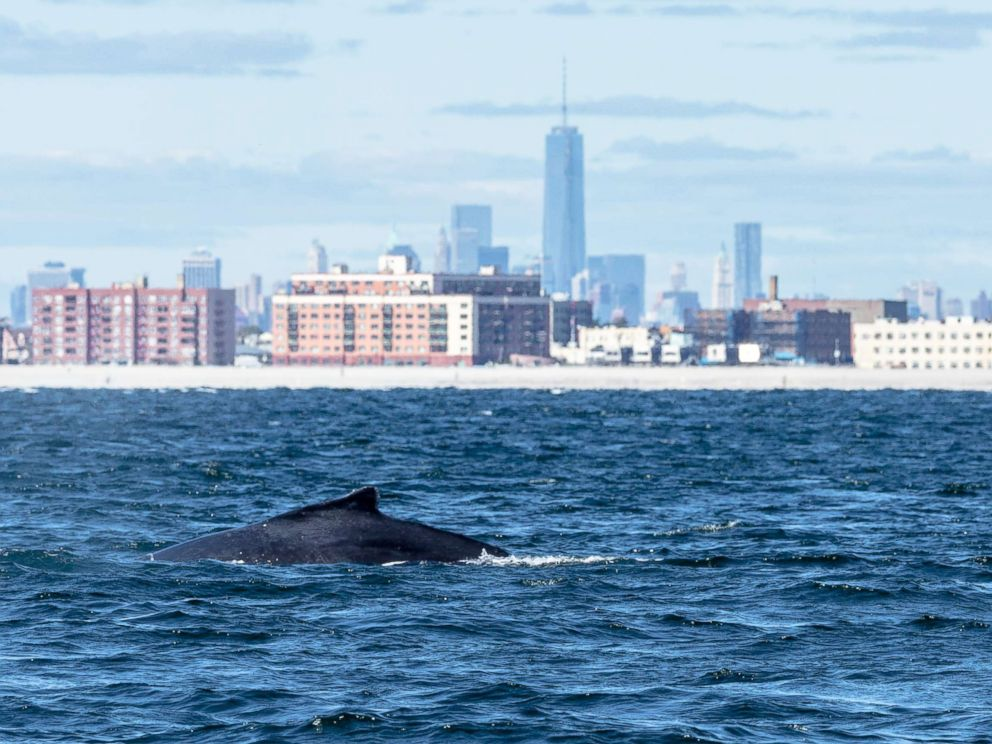 PHOTO: A humpback whale swims off Rockaway Peninsula on Sept. 23, 2013, in the Rockaway Beach neighborhood of New York City.