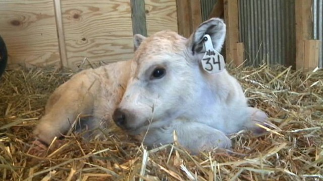 VIDEO: Hero the calfs Virginia caretakers are raising money for the replacement limbs.
