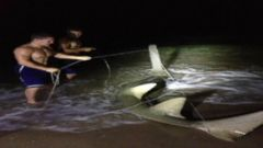 VIDEO: Dustin Richters late-night fishing trip resulted in the capture of an 11-foot long sawfish.