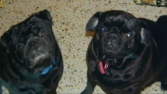 VIDEO: Jim and Julie Lumleys dogs were killed by a possible swarm of Africanized bees.