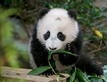 PHOTO: San Diego Zoo panda cub Xiao Liwu