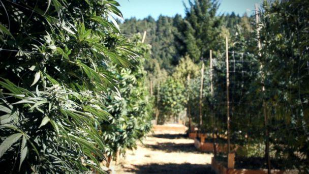 PHOTO: Marijuana plants in Northern California, October 2016.
