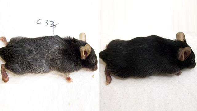 PHOTO:Scientist were able to take a mouse's original color and turn it gray.