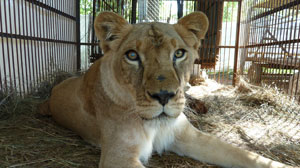 PHOTO Prior to their trip, the lions were rehabilitated and introduced to each other at an Animal Defenders International camp in Santa Cruz, Bolivia.