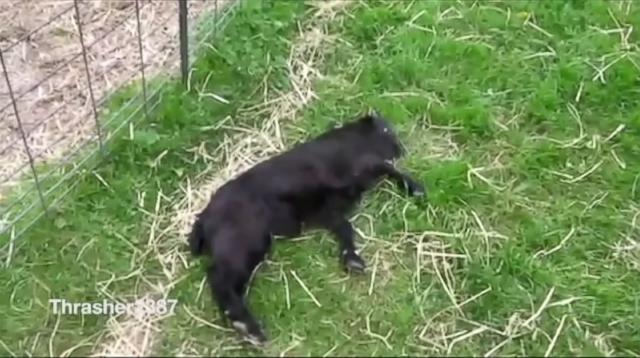 Fainting Goats all the Rage at Pennsylvania Farm