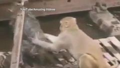 VIDEO: A heroic little monkey revives its companion after it was electrocuted on train tracks.