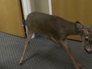 Watch: Deer Invades Office Breakroom