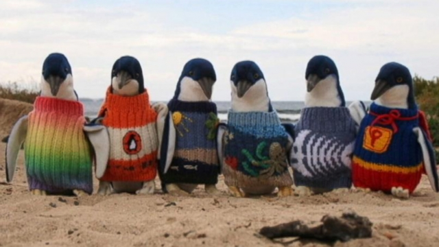 VIDEO: Instant Index: Rescue Effort to Save Penguins With Sweaters
