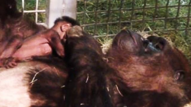 VIDEO: Watch: A Baby Gorilla Placed in Moms Arms for the First Time