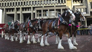VIDEO: Instant Index: Anheuser-Busch Assures the Clydesdales Will Be Back for the Super Bowl