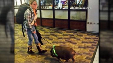 VIDEO: Woman Brings a Pig Aboard an Airplane