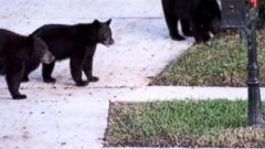 VIDEO: Woman Attacked by Bear in Florida