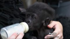 VIDEO: Baby Gorilla Searches for a New Home