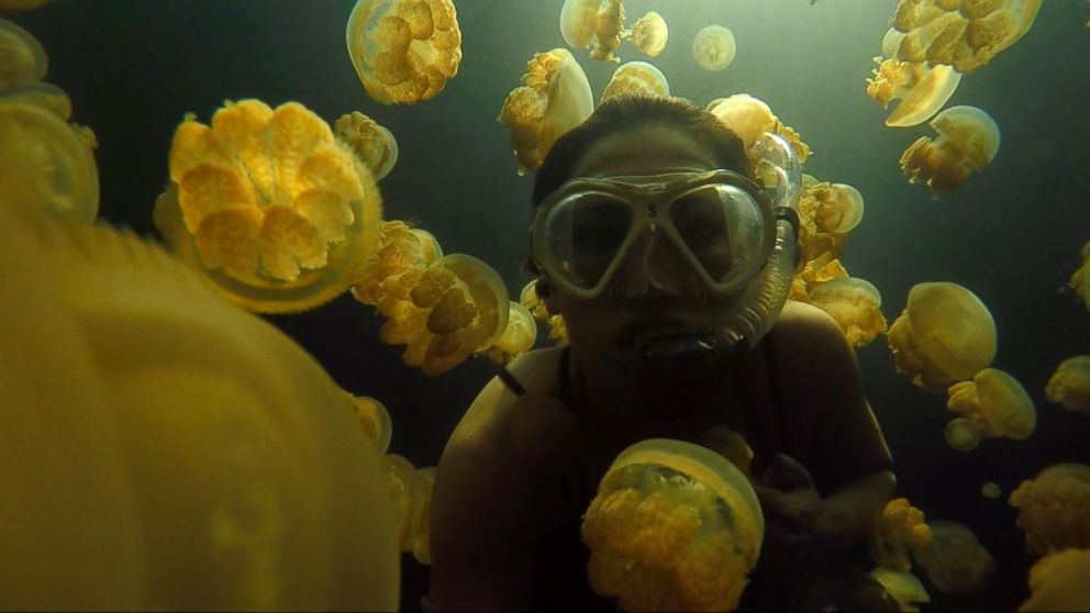 Diving With Jellyfish That Don T Sting Video Abc News