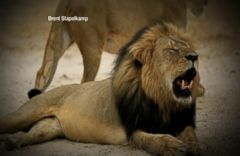 VIDEO: Global Outrage and Worldwide Outpouring Over Death of Cecil the Lion