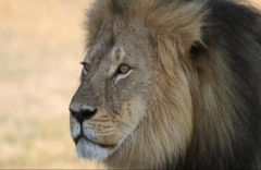 VIDEO: Zimbabwe Conservation Task Force Apologizes for Claiming Lion Jericho Has Been Killed