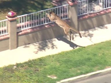 Watch:  Index: Mountain Lion Causes Lockdown of a California School