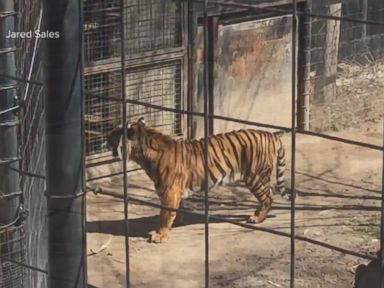 Watch:  One Day After a Zookeeper Is Mauled by a Tiger in Florida, Another Scare Emerges in Toronto