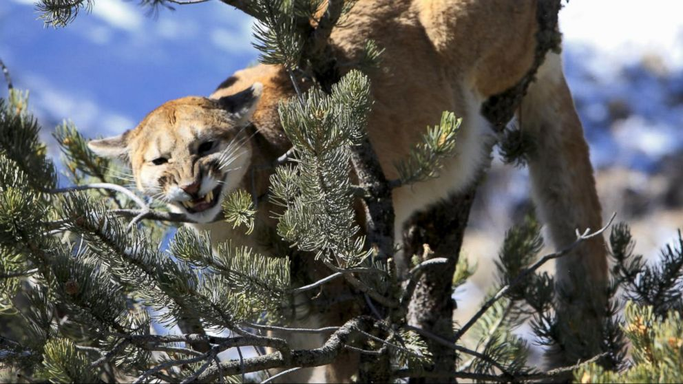 mother fights off mountain lion who was attacking her son video abc news. Black Bedroom Furniture Sets. Home Design Ideas