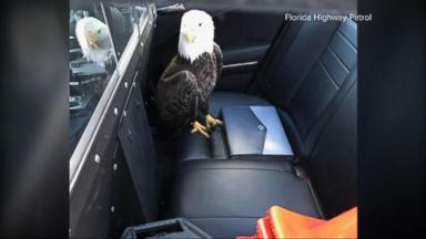 VIDEO: Index: Florida Officer Saves Bald Eagle Injured After Crashing Into Jeep