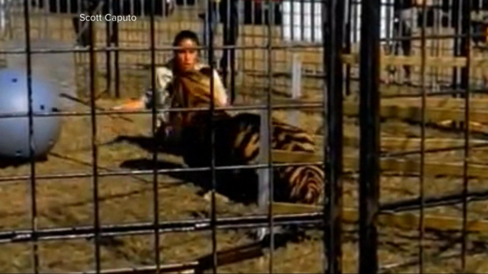 VIDEO: Tiger Attacks Trainer at Florida Circus