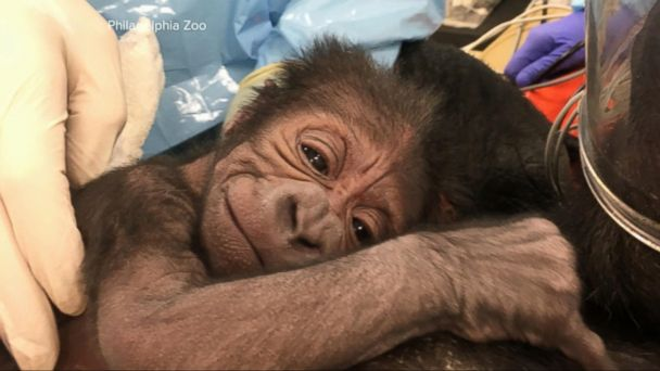 VIDEO: Kira the gorilla delivers a 5-pound baby boy at the Philadelphia Zoo
