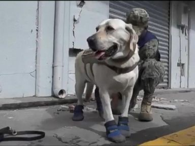 WATCH:  4-legged hero amongst the first responders in Mexico City