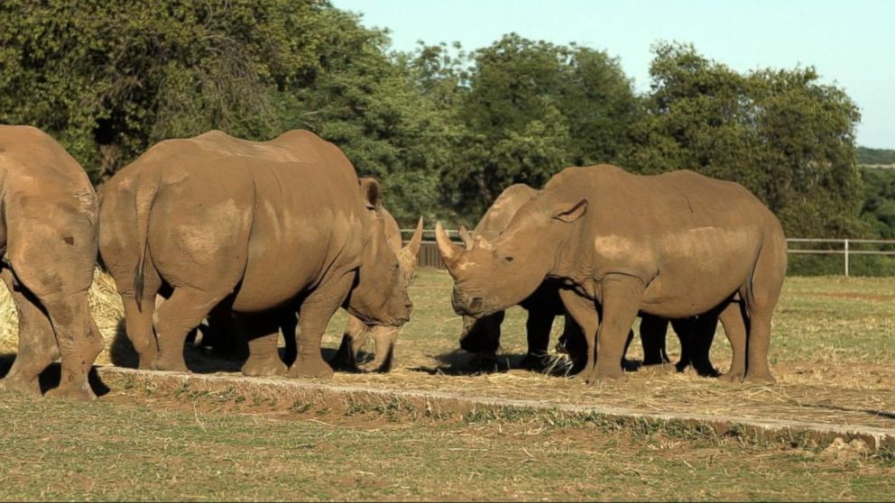 American man tries to save rhinoceroses in South  Africa