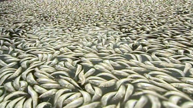 VIDEO: Marine experts are puzzled by dead fish clogging California harbor.