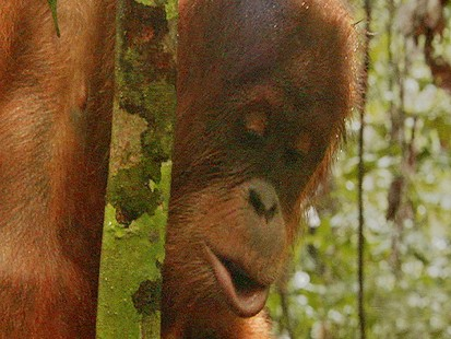 VIDEO: Endangered Orangutans Are Being Threatened In Sumatra