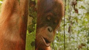 VIDEO: Endangered Orangutans Are Being Threatened In Sumatra