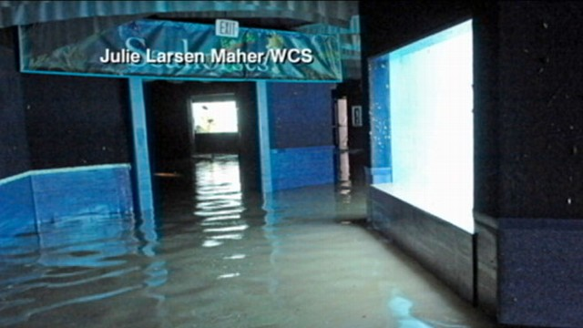 Flooded New York Aquarium May Evacuate Animals Video Abc