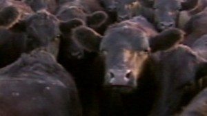 VIDEO:E. Coli Rears Again: This Time Beef