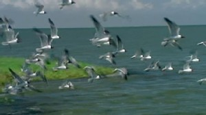 VIDEO: Matt Guttman on the plan to trick birds into stopping before they land in oil.
