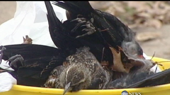 VIDEO: Mystery in Arkansas: Thousands of dead birds dropped out of the sky