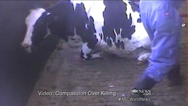 "VIDEO: California meat company accused of ""egregious, inhumane"" treatment of cows."