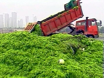 Truckloads of Algea Are Pulled From The Sea