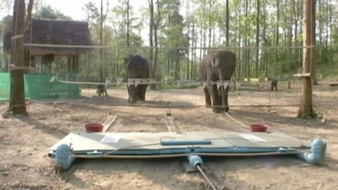 VIDEO: Study finds elephants understand how cooperation works and when to use it.