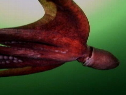 """VIDEO: This eight-legged creature is nicknamed the """"devil-fish."""""""