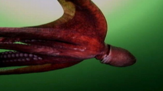 Giant Devilfish Octopus Pursuing the Giant Oct...
