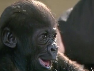 Watch: Orphaned Gorilla Gets Help From Human Touch