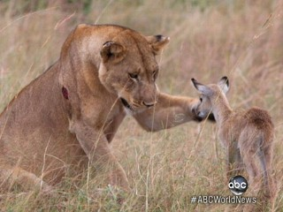 Watch: Lion Adopts Baby Antelope