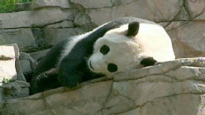 VIDEO: National Zoo trainer Nicole Meese discusses returning her panda to China.