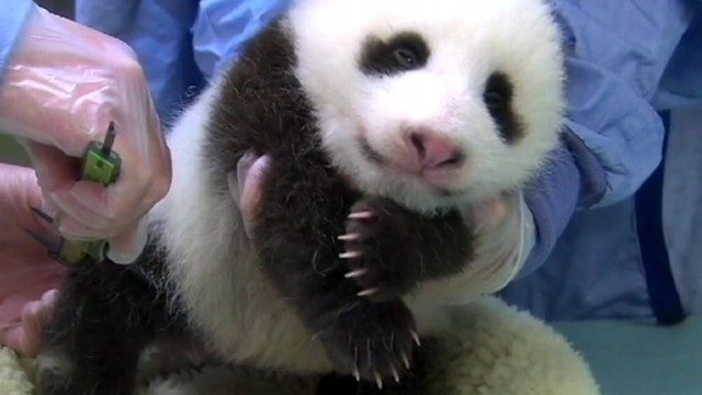 VIDEO: Zookeepers were alerted by cries of distress from the mother panda, Mei Xiang.