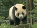 A picture of a giant panda.