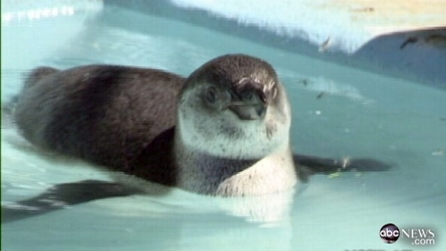 VIDEO: Penguin Escapes Japanese Zoo Three Times in Ten Days