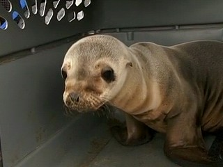 Watch: Saving the Sea Lion Pups